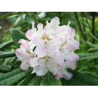 Рододендрон Сан Мишель (розовый)