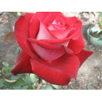 Роза Николь(чайно-гибридная)
