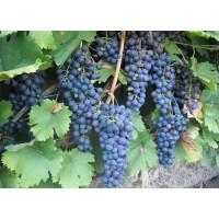 Виноград Маркетт (Средний/Фиолетовый)