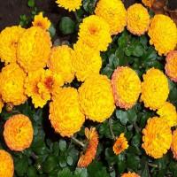 Хризантема Балиос (Мультифлора/Желтая)