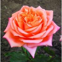 Роза Седукцион(чайно-гибридная)