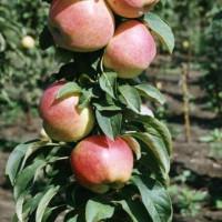 Яблоня колоновидная Телеймон