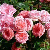Роза Кимоно (флорибунда)