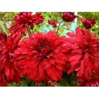 Хризантема Дипломат (Крупноцветковая/Красная)