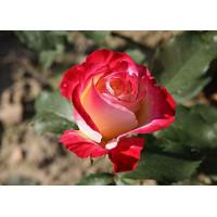 Роза Биколетте(чайно-гибридная)