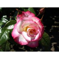 Роза Хендель (плетистая)