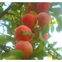 Слива Персиковая (Средняя/Красная)