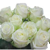 Роза Маруся(чайно-гибридная)