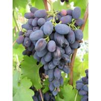 Виноград Надежда Азос (Средний/Черный)