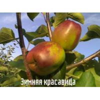 Яблоня Зимняя красавица