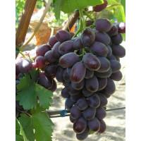 Виноград Шоколадный (Средний/Красный)