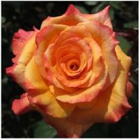 Роза Конга(чайно-гибридная)