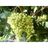 Виноград Инга (Ранний/Белый)