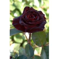 Роза Блэк Баккара(чайно-гибридная)