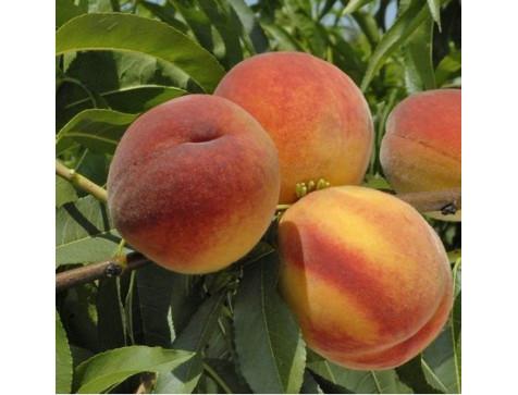 Персик Онтарио