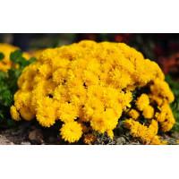 Хризантема Солнышко (Мультифлора/Желтая)