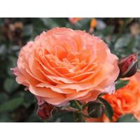 Роза Бельведе(чайно-гибридная)