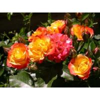 Роза Самба Пати(чайно-гибридная)