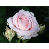 Роза Фламинго(чайно-гибридная)