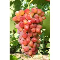 Виноград Арочный - Кишмиш (Ранний/Красный)