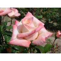 Роза Анна(чайно-гибридная)