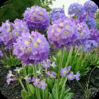 Примула Lilac