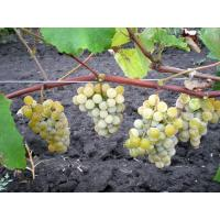 Виноград Ниагара - Кишмиш (Ранний/Белый)