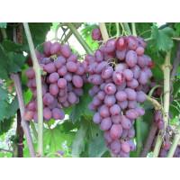 Виноград Румба (Ранний/Розовый)