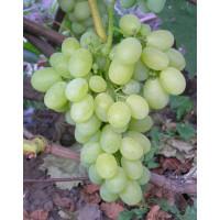 Виноград Вива Айка (Ранний/Белый)